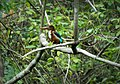 A White-Throated Kingfisher.jpg