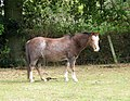 A bay roan pony - geograph.org.uk - 1533491.jpg
