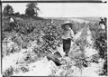 "A four year old helper in the berry fields. Mother said, ""He helps a little."" Rock, Creek, Md. - NARA - 523211.tif"