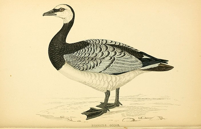 A history of British birds (6008480723).jpg