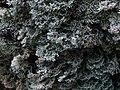 A lichen - Bunodophoron melanocarpum - geograph.org.uk - 1420704.jpg