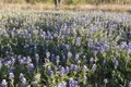 A luxurient field of bluebonnets, the state flower, near Marble Falls in the Texas Hill Country LCCN2014633104.tif