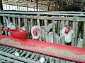 A poultry farm in Ranhat.jpg