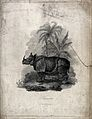 A rhinoceros standing before palmtrees and a banana plant. L Wellcome V0020744.jpg