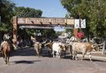 A roundup (for tourists) of longhorn cattle in the Stockyards, a historic livestock-market district in Fort Worth, Texas LCCN2013650790.tif