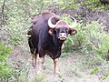 A watchful gaur bull in Biligirirangan Temple Tiger Reserve AJTJohnsingh DSCN0114.jpg