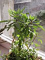 Ab plant 839.jpg