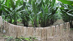 Abaca fiber drying in Abaca farm, Costa Rica.jpg