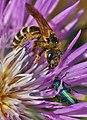 Abeja glotona 06 - Hello little bug (2423315577).jpg