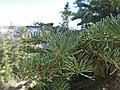 Abies concolor subsp. concolor kz01.jpg