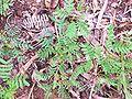 Acacia heterophylla Seedlings.jpg