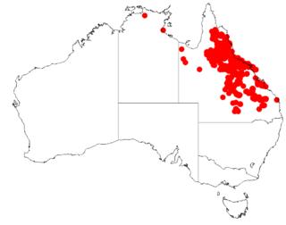 <i>Acacia leptostachya</i> Species of legume