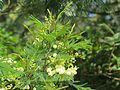 Acacia mearnsii - black wattle at Mannavan Shola, Anamudi Shola National Park, Kerala (8).jpg