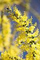 Acacia pravissima close up.jpg
