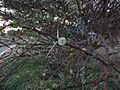 Acacia raddiana - flower.jpg