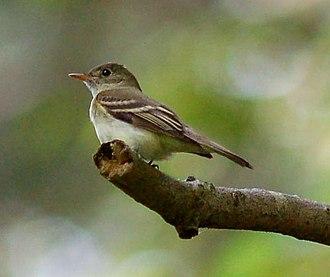 Acadian flycatcher - Image: Acadian Flycatcher