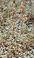 Acaena argentea - plant (aka).jpg