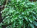 Acanthus mollis leaves 01.JPG
