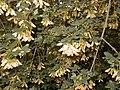 Acer monspessulanum.jpg