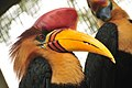 Aceros cassidix -St Augustine Alligator Farm Zoological Park-8b.jpg