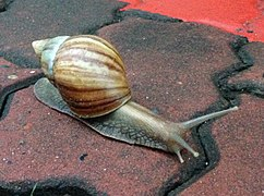 Achatina fulica - walking (cropped).JPG