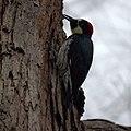 Acorn Woodpecker (5317742744).jpg