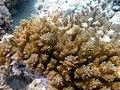 Acropora selaga Macro Maldives.JPG