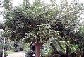 Adansonia digitata 25zz.jpg