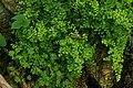 Adiantum capillus-veneris, Conservatoire botanique national de Brest 03.jpg