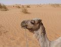 Adrar-Camel (2).jpg