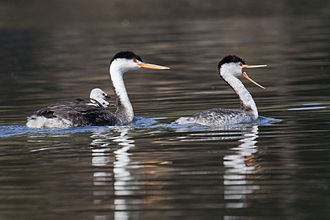 Clark's grebe - A family in California, USA. Two chicks are riding on one of the parent's back