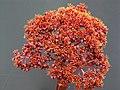 Aeonium nobile PICT3851.jpg