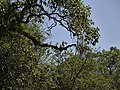 Aerides crispa Lindl. (5779639707).jpg