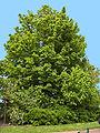 Aesculus hippocastanum(02).jpg