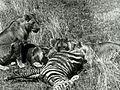 Africa Speaks! (1930) - Lions and Zebra.jpg