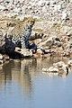 African Leopard Water 2019-07-28.jpg