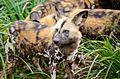 African wild dog (24546333179).jpg
