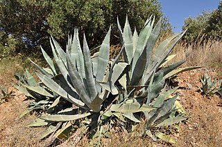 <i>Agave</i> A genus of flowering plants closely related to Yucca (e.g. Joshua tree). Both Agave and Yucca belong to the subfamily Agavoideae.
