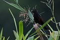 Agelasticus xanthophthalmus Pale-eyed Blackbird.jpg