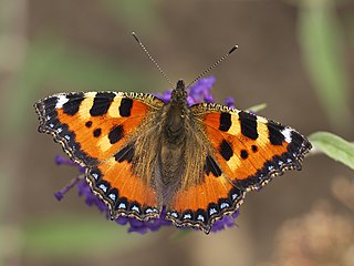 Small tortoiseshell species of insect