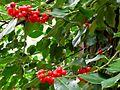 Agrifoglio (Ilex aquifolium) a Poggio (Elba).jpg