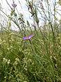 Agrostemma githago 004.jpg
