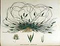 Agrostis stolonifera — Flora Batava — Volume v16.jpg
