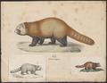 Ailurus fulgens - 1700-1880 - Print - Iconographia Zoologica - Special Collections University of Amsterdam - UBA01 IZ22600211.tif