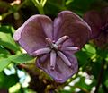 Akebia quinata. Ornamental flowering climber. - Flickr - gailhampshire.jpg