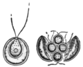 Alger, Coccomonas orbicularis, Nordisk familjebok.png