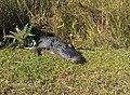 Alligator in Shark Valley^ - panoramio (4).jpg