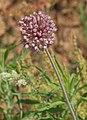 Allium ampeloprasum 20110528a.jpg