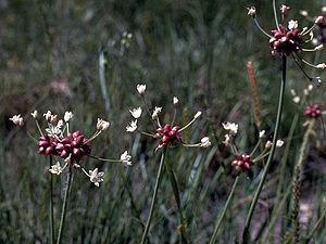 Allium canadense - In the wild