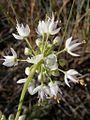 Allium cernuum (3287845832).jpg